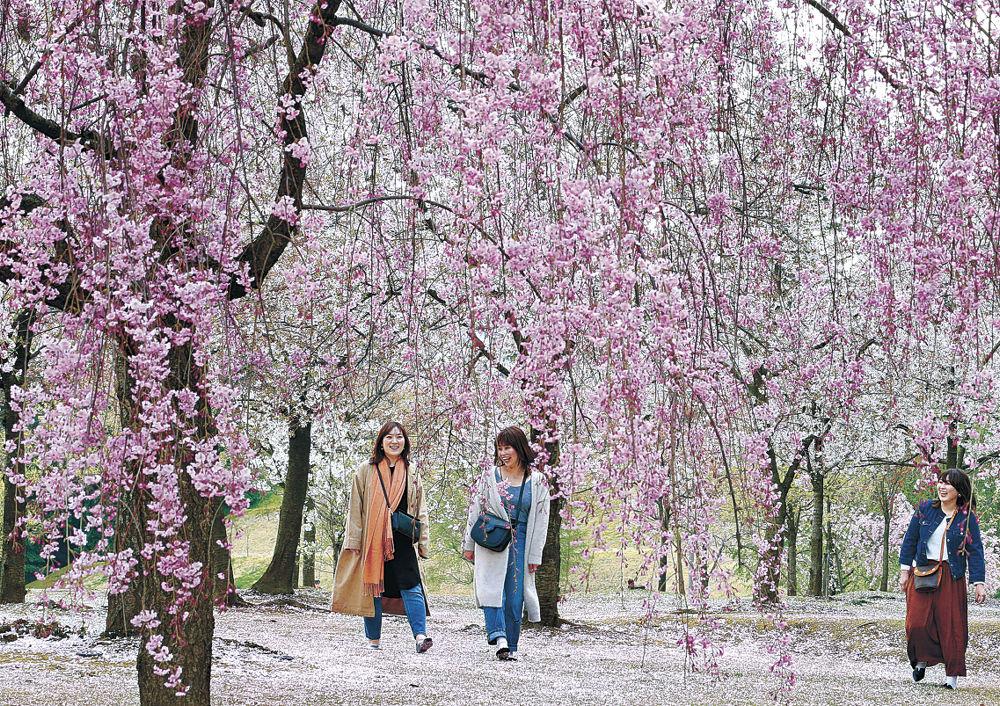桜に彩られた園内を散策する観光客=金沢城公園