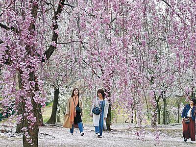 金沢城公園、桜色に染まる 枝垂れ桜満開