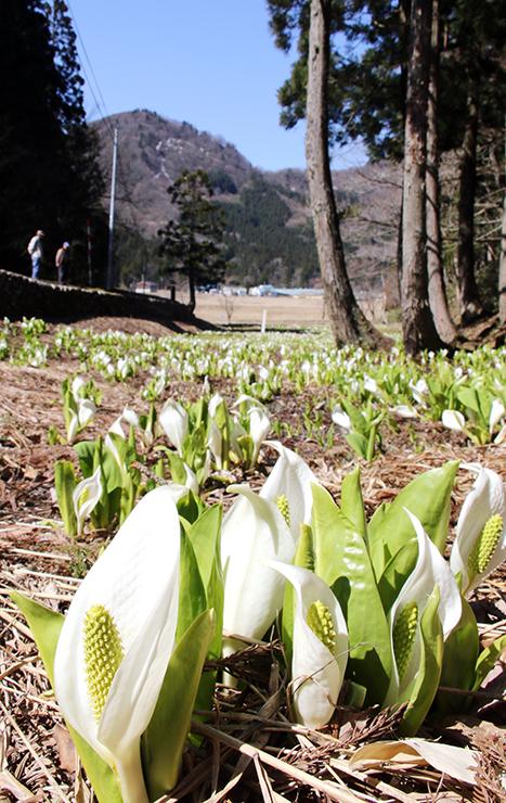 白い仏炎苞が次々に開いているミズバショウの群生地=富山市八尾町小井波