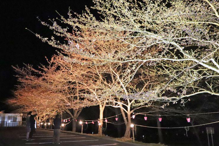 ライトアップされている佐渡金山の桜並木=佐渡市相川地区