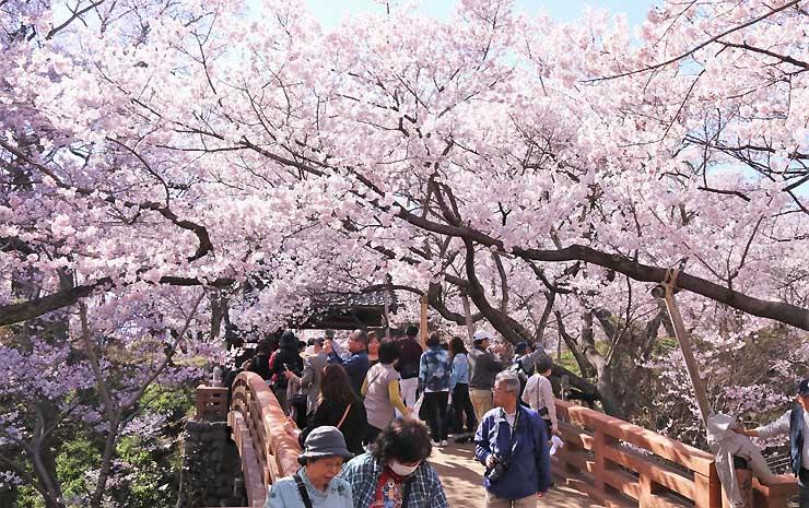 満開になった高遠城址公園のタカトオコヒガンザクラ。多くの観光客が花見を楽しんだ=16日午後2時52分、伊那市高遠町