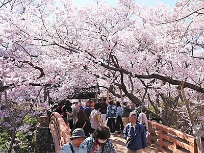 ピンクのドーム、より色濃く 伊那・高遠の桜満開