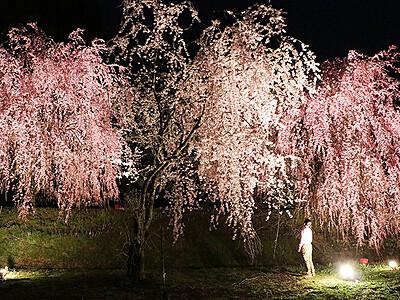 あでやか夜桜見に来て 魚津・長引野