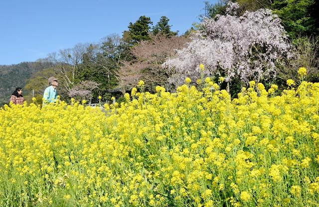 長泉寺前で満開のしだれ桜と菜の花。青空とのコントラストがひときわ美しい=4月16日、福井県小浜市加茂