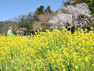 菜の花満開、春うらら 小浜・加茂2河川沿い