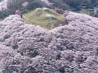 弘法山古墳に「桜の雲海」 松本の街並みと北ア望む