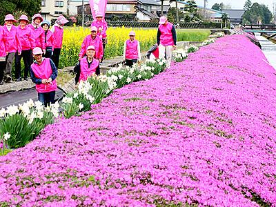 岸渡川沿いピンク 砺波で「芝桜まつり」開幕