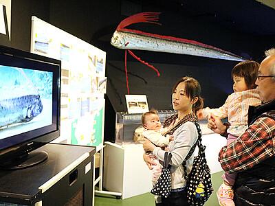 「幻の魚」リュウグウノツカイ紹介 魚津水族館