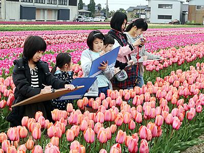 24品種50万本彩る 砺波の高波チューリップまつり 写生大会も開催