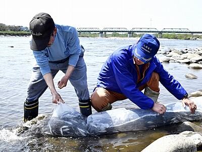 稚アユ20万匹放流 大きく育って 福井・九頭竜川