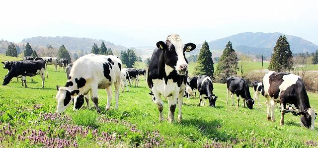 牧草地に放され、草をはむ乳牛の群れ=4月23日、福井県勝山市平泉寺町池ケ原の県奥越高原牧場