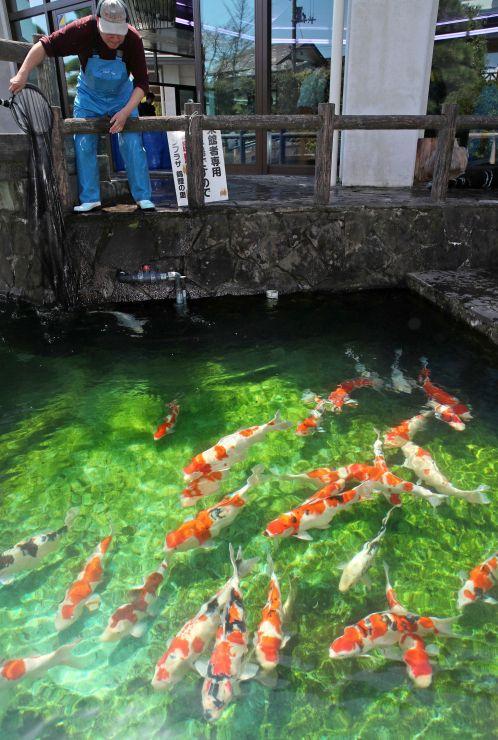 漁協関係者らによって庭園の池に放流された錦鯉=23日、小千谷市城内1