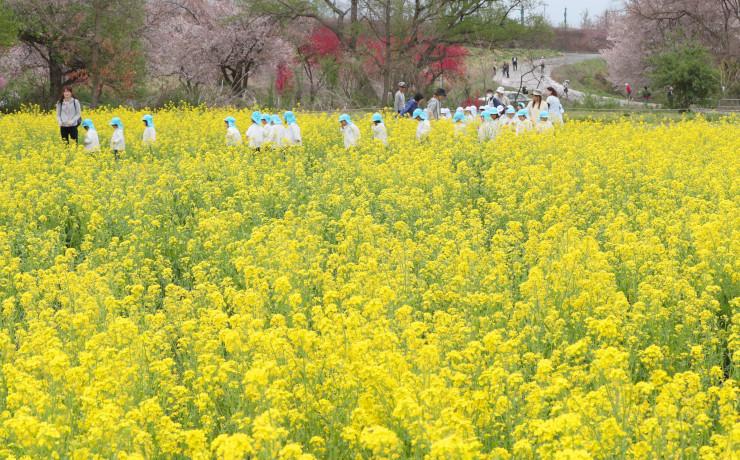 満開の菜の花畑の中を散歩する園児たち。周辺ではハナモモやソメイヨシノも色を添えている=小布施町の千曲川河川敷