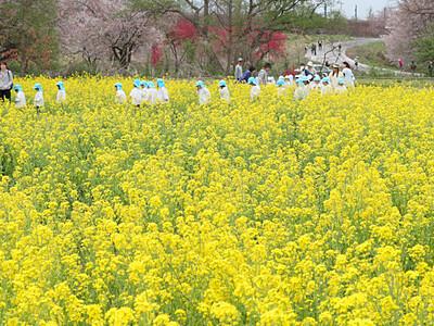 春らんまん、河川敷は黄金色 小布施の菜の花畑
