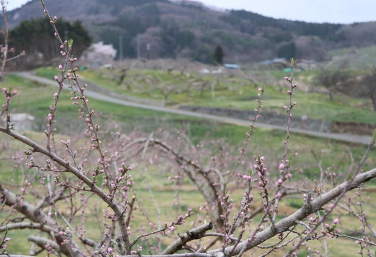 ピンクのつぼみを付けている丹霞郷の桃