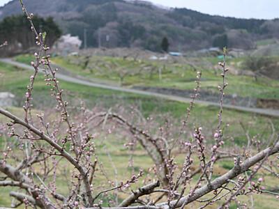 GWの花見、期待 北信の桜や桃、寒の戻りでずれ込み