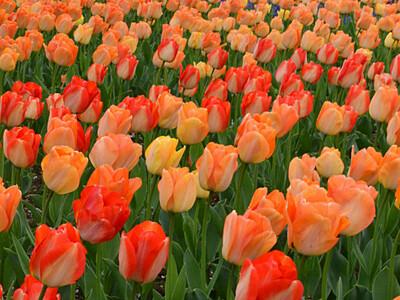 さあ開幕「信州花フェスタ」 安曇野にチューリップ38万本