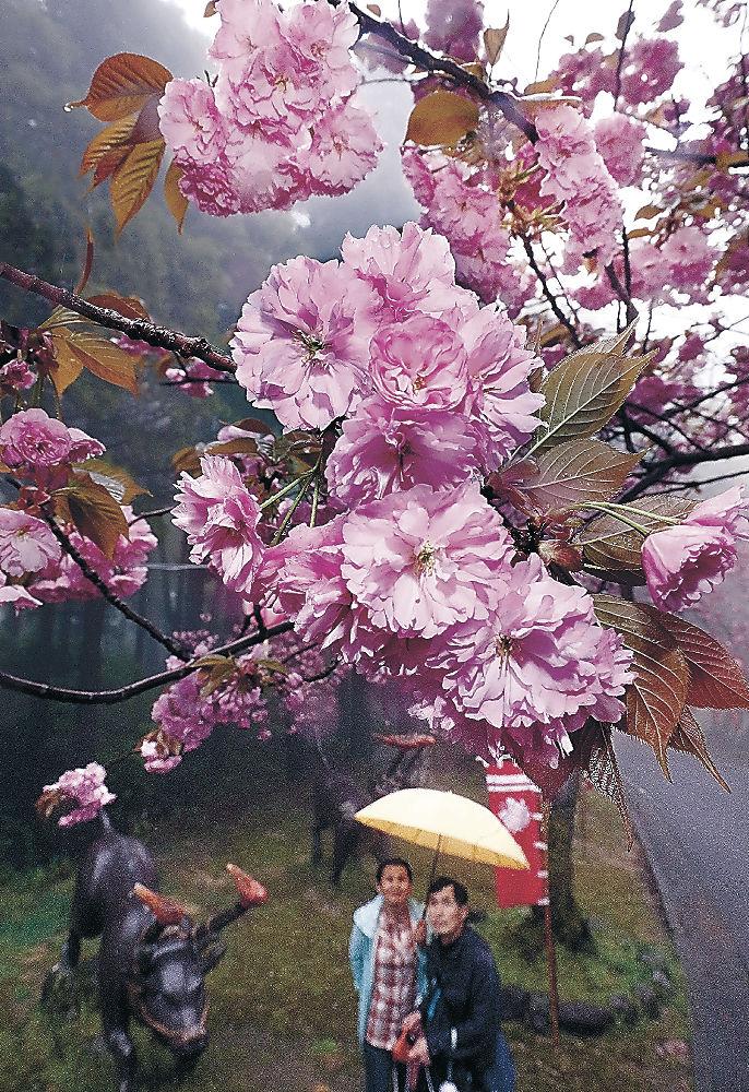 見頃を迎えた八重桜=津幡町と小矢部市境の倶利伽羅古戦場