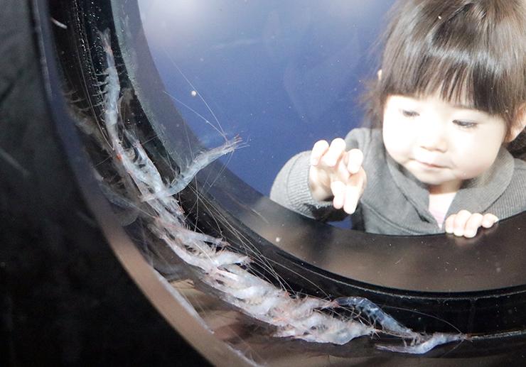 ガラス細工のように美しいシロエビ