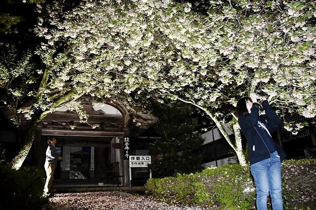 ライトアップされたウコンザクラを楽しむ来場者=26日夜、福井県敦賀市原の西福寺