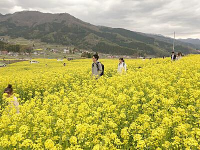 菜の花公園 800万本もうすぐ満開 飯山 3日から「まつり」