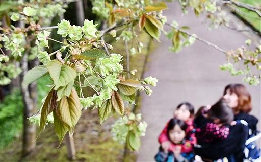 上品な黄緑色の花を咲かせる御衣黄=28日、福井県池田町土合皿尾