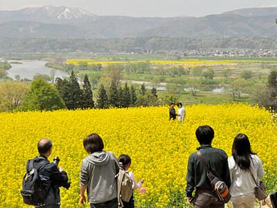 飯山で菜の花満開、菜の花まつり始まる、あすまで