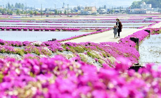 田んぼのあぜに鮮やかな花を咲かせているシバザクラ=5月4日、福井県大野市中丁