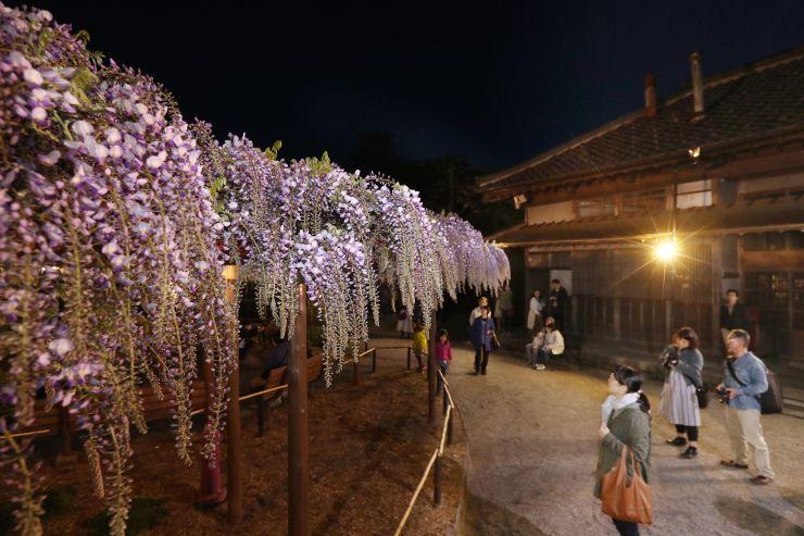見頃を迎えたフジの花。光に照らされ、美しく咲き誇る=3日、新潟市江南区