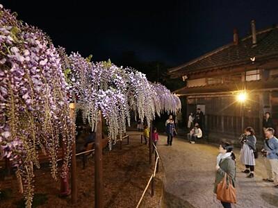 フジの花夜の装い 新潟・北方博物館