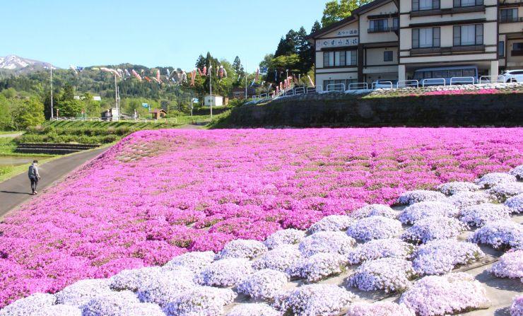 ゑしんの里やすらぎ荘周辺に咲く鮮やかなシバザクラ=7日、上越市板倉区久々野