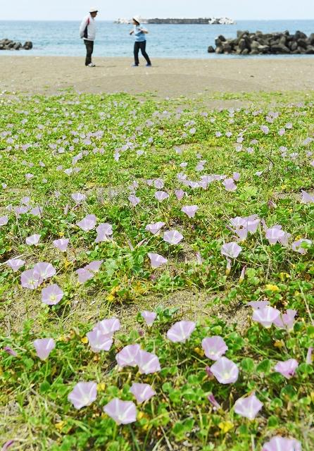 浜辺に淡いピンクの彩りを添えているハマヒルガオ=5月9日、福井県福井市浜住町の鷹巣海水浴場