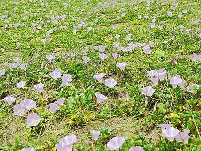 浜の夏呼ぶ彩り 福井・鷹巣にハマヒルガオ