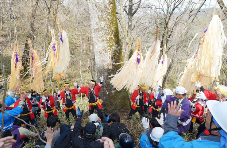最も大きい「秋宮一」の候補木が決まり、高らかに声を響かせる木やり衆=9日、下諏訪町の東俣国有林