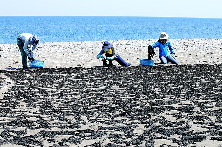 砂浜に並べられる灰付きワカメ=宮崎海岸