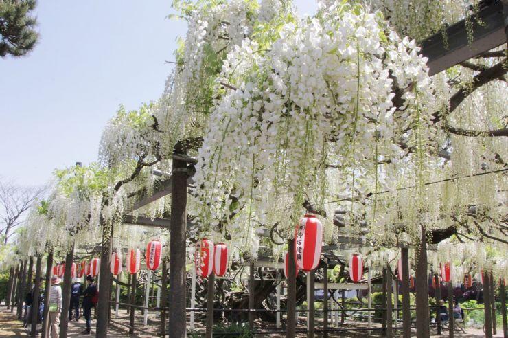 甘い香りを漂わせる「八王寺の白藤」=10日、燕市八王寺