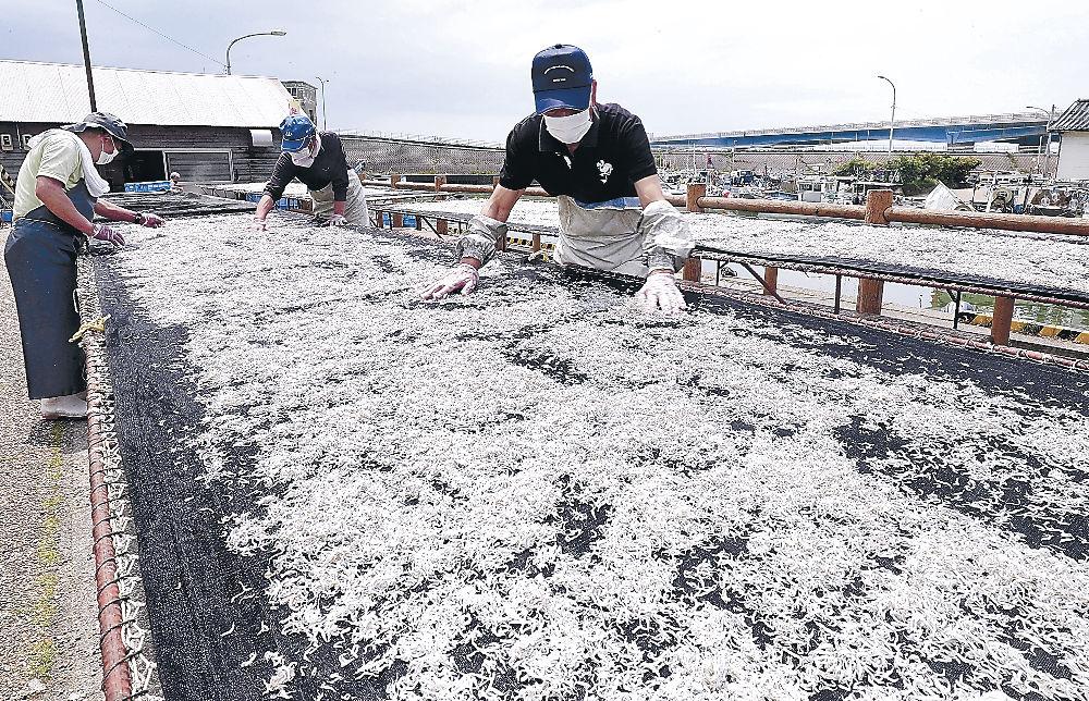 シラスを網に広げ、天日干しする組合員=白山市の美川漁港