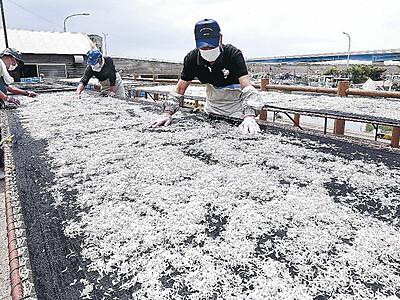 シラスの天日干し 美川漁港で本格的に始まる