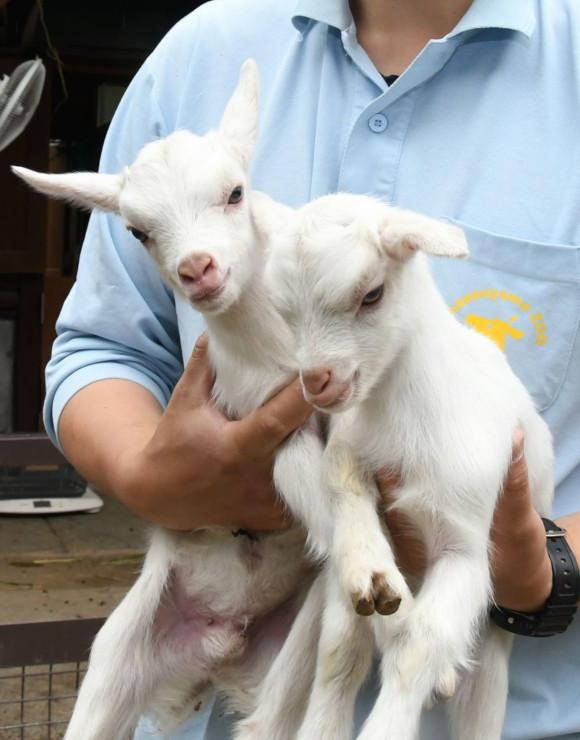 飼育員に抱えられるシバヤギの「こごみ」(右)と「わらび」