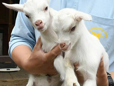 ヤギの赤ちゃん、かわいい2匹 長野・茶臼山動物園