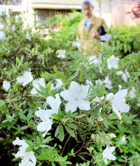 花を咲かせた上皇后美智子さまにゆかりがあるツツジ=5月13日、福井県勝山市鹿谷町保田