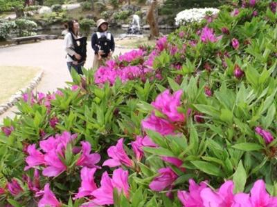 ツツジ咲き競う 弥彦公園