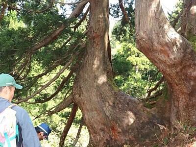 巨木の造形美 石名天然杉遊歩道 17日オープン 佐渡