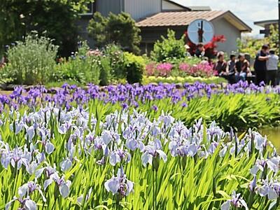紫や白咲き誇る 上越でカキツバタ見頃