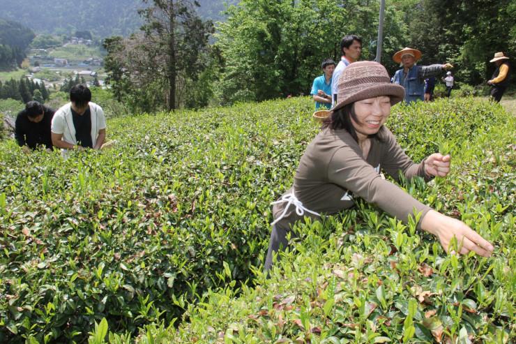 茶畑で葉を摘む体験をするツアー参加者たち