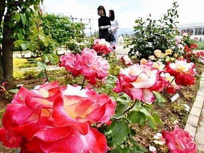 150種バラ咲き始め 坂井市でまつり、クラフト市も