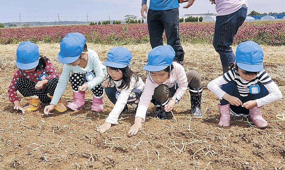 ヒマワリの種をまき、土をかぶせる園児=津幡町湖東の河北潟干拓地「ひまわり村」
