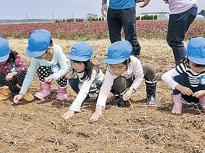 津幡ひまわり村 夏を心待ち、園児が種まき