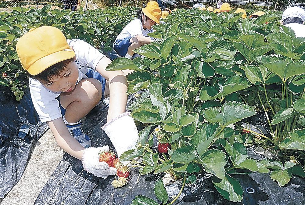 崎山いちごの収穫を体験する児童=七尾市の旧北星小