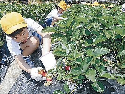 崎山いちご「甘い」 七尾で児童が収穫
